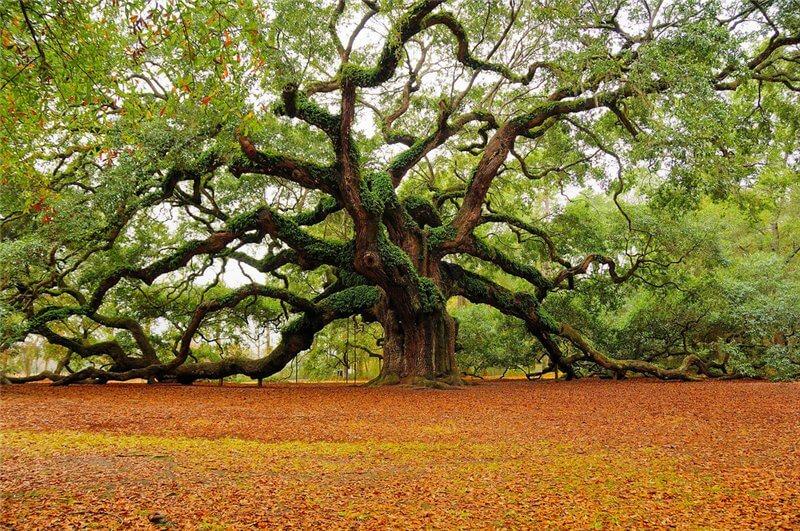 фото дуб